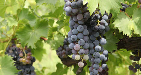 Italy beats France in wine output