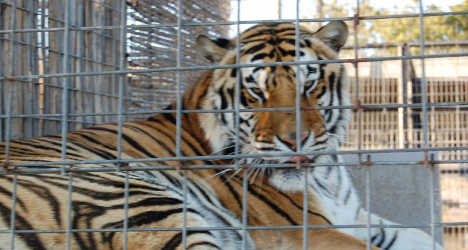 Italian man arrested for keeping pet tiger
