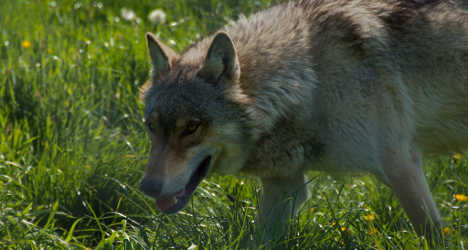 Italian farmers slaughter wolves in protest