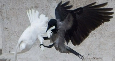 VIDEO: Pope's doves attacked by birds