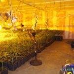 Some of the people arrested were tending to the cannabis plants when police arrived.Photo: CC Prato
