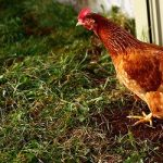 <b>'Andare a letto con le galline'</b> Whatever your imagination may lead you to believe, to 'go to bed with the chickens' is perfectly acceptable in Italian society. It means a person goes to bed early.Photo: martin cathrae/Flickr