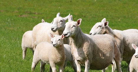 Angry farmer mows down sheep with tractor