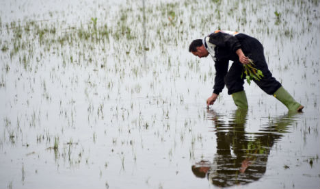 Exports soar for Italy's rice farmers