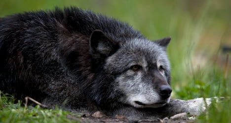 €5,000 bounty offered for Tuscan wolf killer