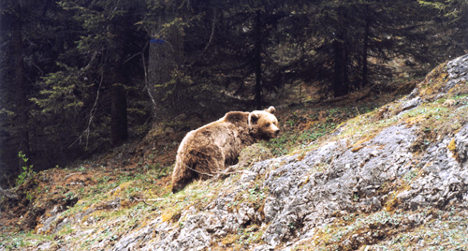 Bear outsmarts captors after attacking Italian