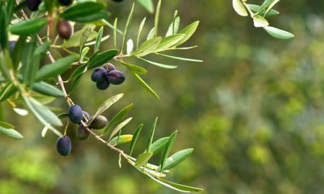 Olive disease threatens Italian Easter tradition