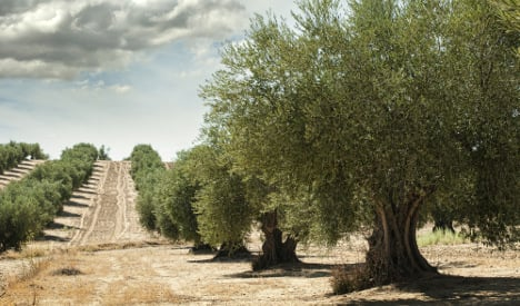 EU wants Italy to cut down olive trees
