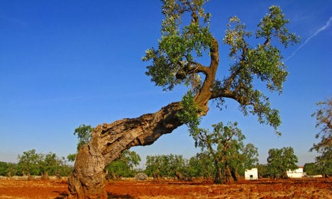 Farmers angered after Italy culls 45 olive trees