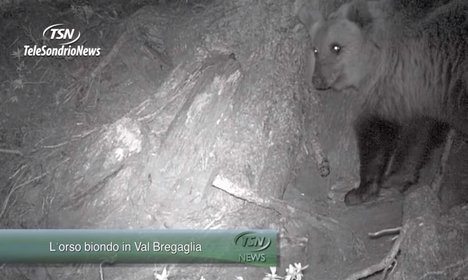 VIDEO: 'Blond' bear finds internet fame in Italy