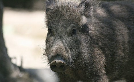 Italy wild boar deaths provoke calls for cull