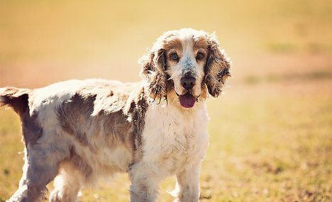 Heroic cocker spaniel saves owner from attack