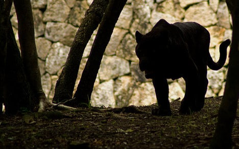 Italian park held hostage by 'veggie' panther