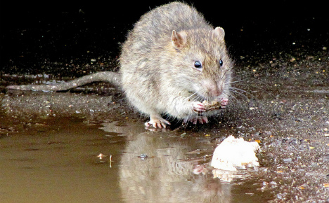 Rome rat crisis: leaders vow hefty fines for litter louts