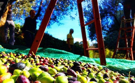Italy fears EU's Tunisian olive oil ruling will help fakes thrive