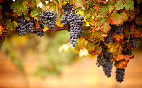 Italians fear wine drought after Germans eat all the grapes