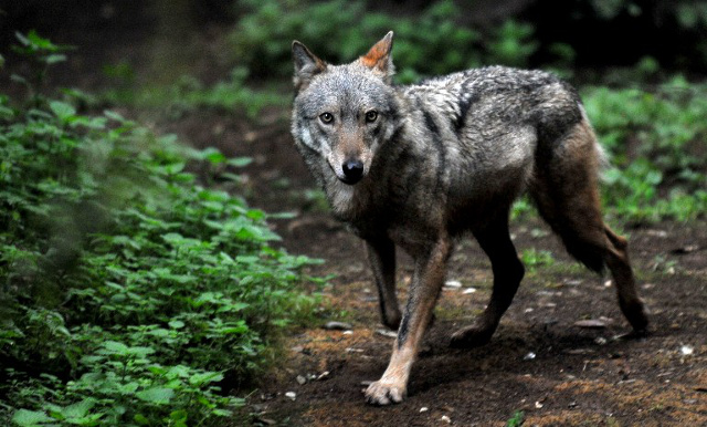 Italy halts planned wolf cull after howls of protest