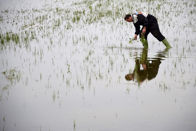 Italy's rice producers threatened by foreign imports