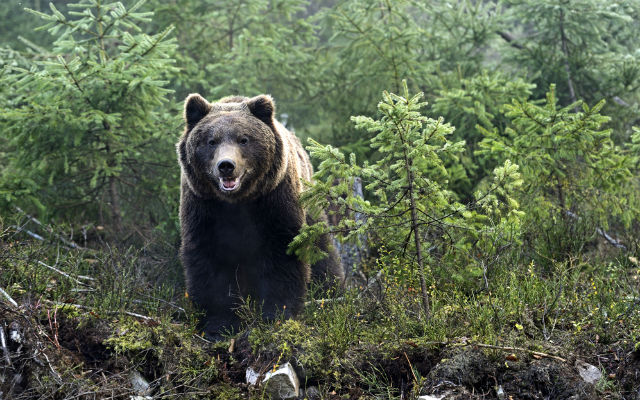 Bear gatecrashes party in central Italian town