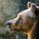 Rare brown bear dies in Italy capture operation