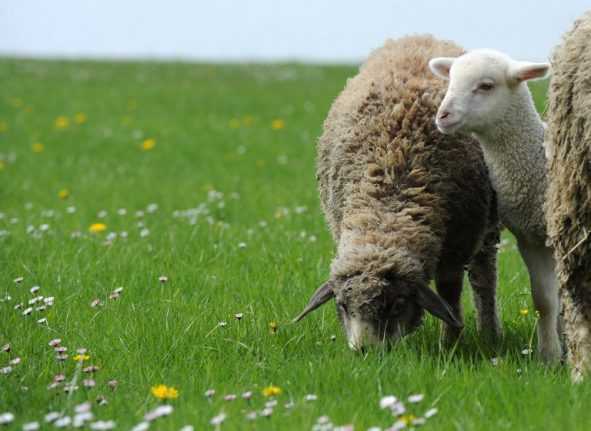 Ecco Ewe-o-mow: Rome's mayor suggests using sheep and cows to trim the grass