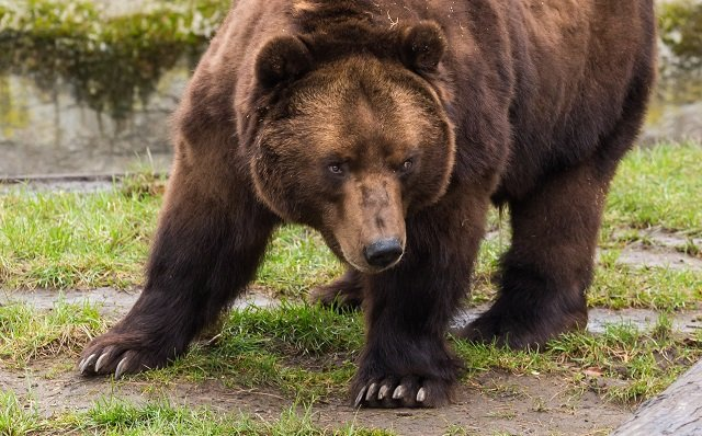 Backlash after Italian councils allow bears and wolves to be shot