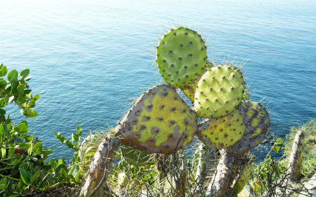 Southern Italy celebrates its annual 'prickly pear discus' contest