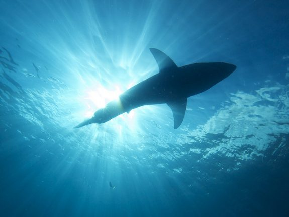 More than half of shark species in the Mediterranean at risk: WWF