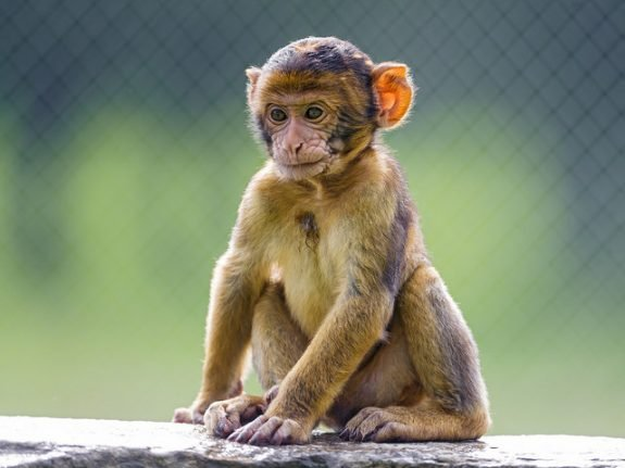 Italian police crack down on illegal barbary ape trade