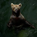 Italians cheer on wild bear's 'Great Escape' from electrified pen