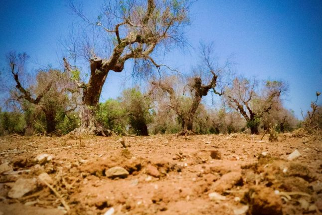 Researchers hunt for solutions to Italy's 'olive tree leprosy'