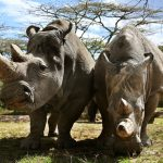 An Italian lab could hold the key to saving the northern white rhino