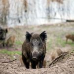 Wild boar sniff out and destroy €20K cocaine stash in Tuscan forest