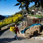 IN PHOTOS: Northern Italy's mimosa harvest comes early