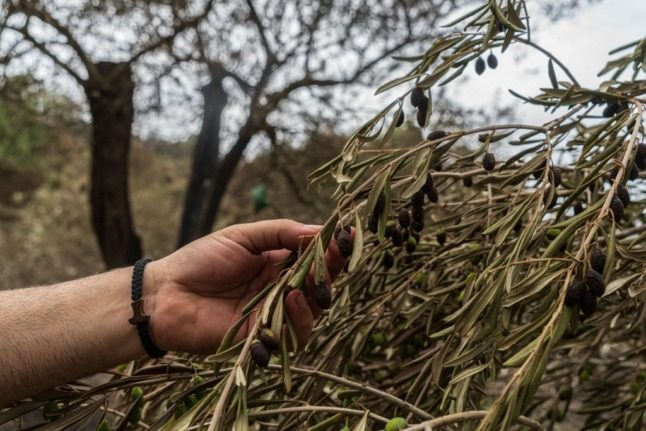 Race to save ancient Italian olive tree engulfed by wildfires